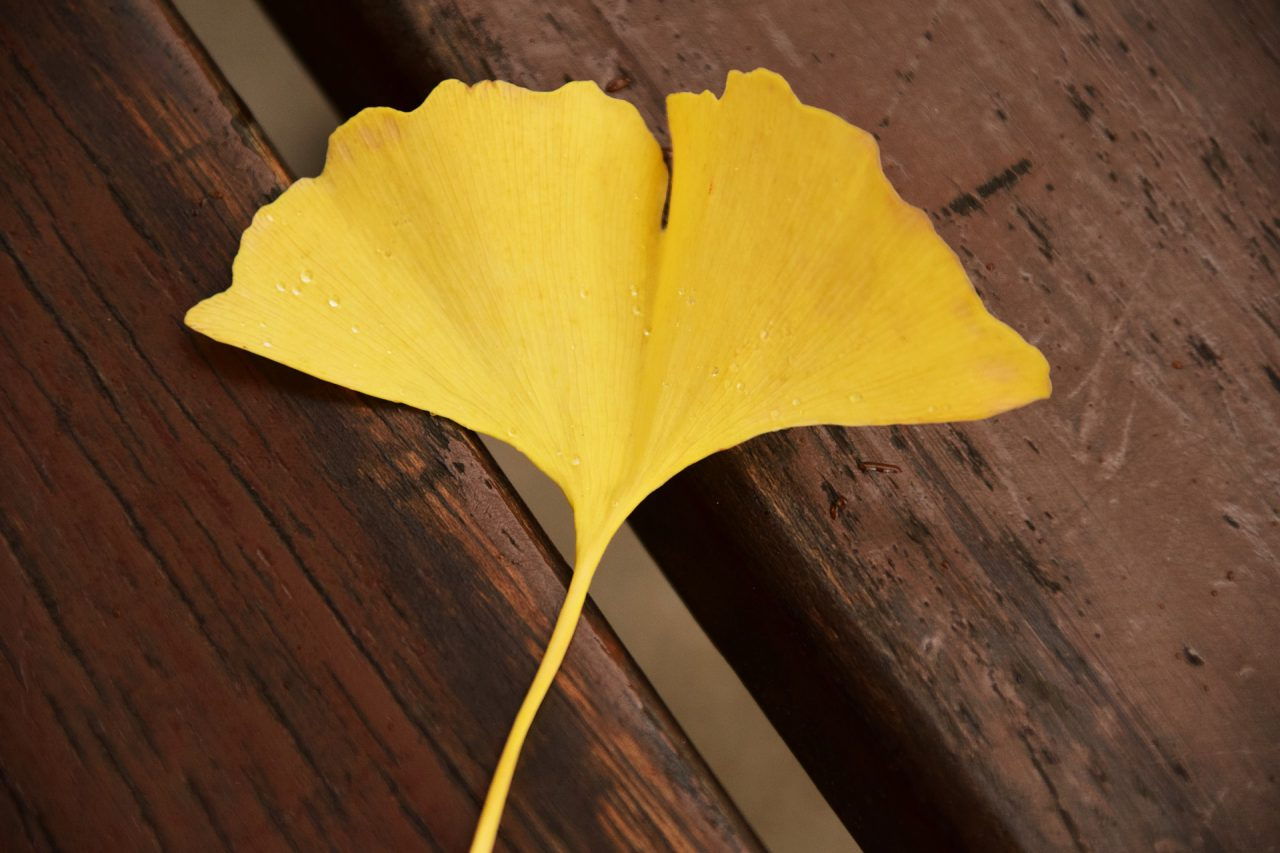 Hoja amarilla del Ginkgo Biloba